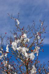 Hagebutten Hochformat mit Schnee und Früchten
