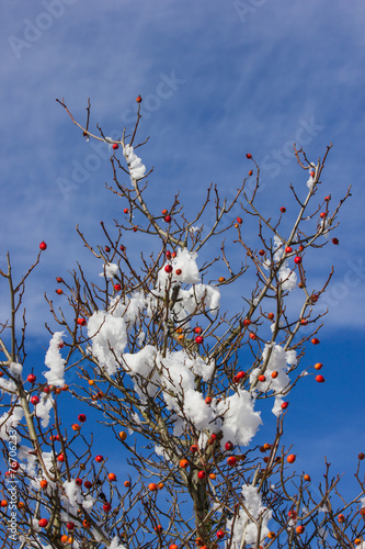 canvas print picture Hagebutten Hochformat mit Schnee und Früchten