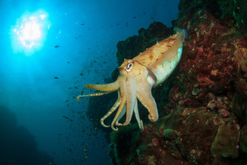 Cuttlefish underwater in ocean