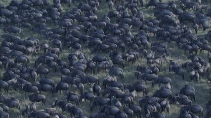 Grasslands Wildebeest