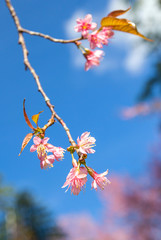 Wild Himalayan cherry blooming