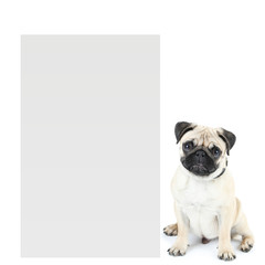 Cute pug dog with place for text isolated on white
