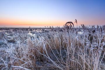 Hoar frost on reed in a winter morning landscape