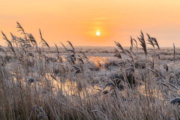 Hoar frost on reed in a winter landscape at sunset