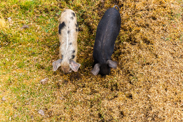 Wild pigs graze eating the grass on nature at farm