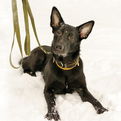 cute black dog with a big ears laying in a snow