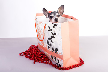 Lovely chihuahua dog in a gift bag