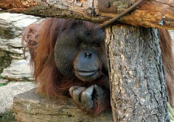 Portrait of male Bornean orangutan (Pongo pygmaeus)