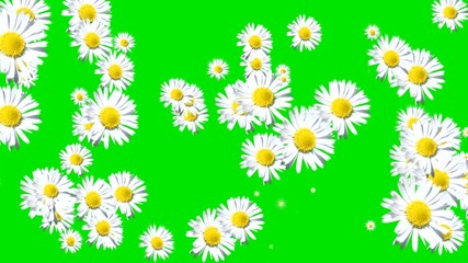 Green  screen white flowers transition.