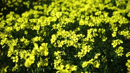 meadow in the spring with yellow flowers