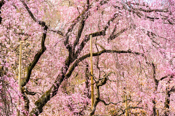 Spring Cherry Trees in Kyoto