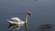 swan, pond