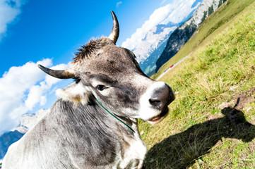 Mucca al Pascolo sulle Dolomiti