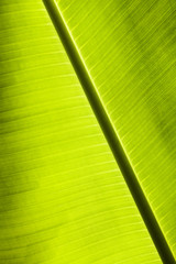 Green palm leaf backlit.