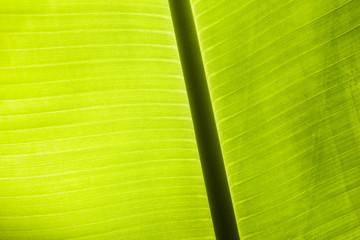 Backlit green leaf.