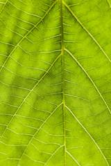 Green leaf backlit