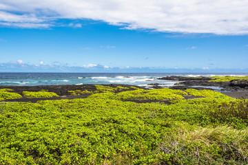 Succulents on the Black Sand Beach, Hawaii