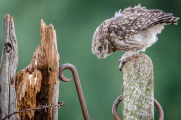 Curious Little Owl