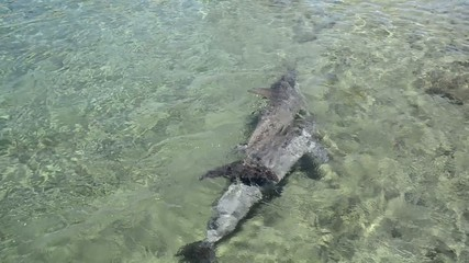 Swimming Dolphins vid 2
