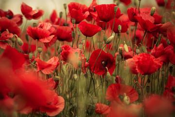 Spring Poppy Flowers