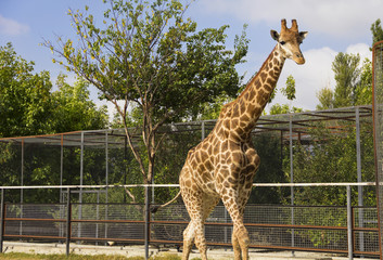 Giraffe in the ZOO.