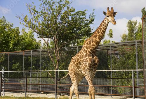 Fotobehang Giraffe Giraffe in the ZOO.