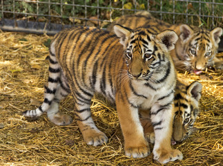 The tiger cubs at the zoo.