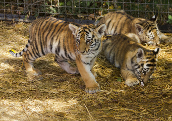 The tiger cubs in the nursery