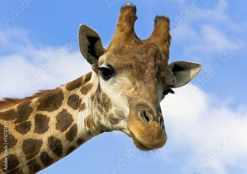 In de dag Giraffe Portrait of a giraffe on the background of blue sky.