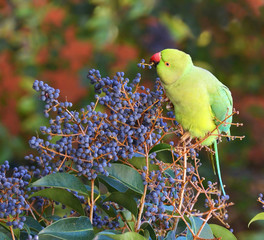 pappagallino che mangia frutta nella foresta