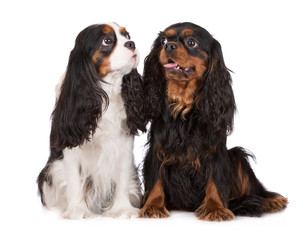 two adorable king charles spaniel dogs together