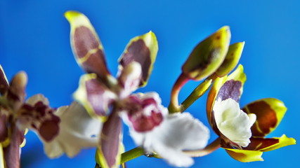 Orchid Flower Blooming on a Blue Background. Timelapse