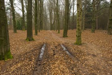 Frozen tracks in a beech forest in winter