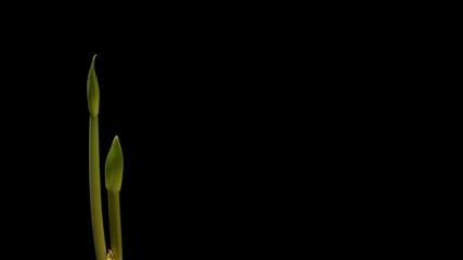 Amaryllis Stems Time-lapse