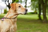 Fototapeta Labrador na spacerze