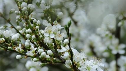Weißdorn, Blüte und reife Beeren