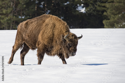 Poster Bison european bison on snow