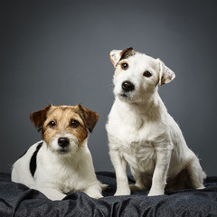 Jack Russell terrier male and female