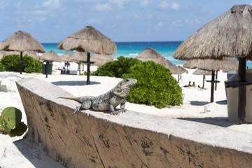 Mexican iguana at Cancun Beach on the Yucatan, Mexico.