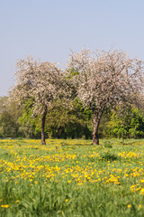 Spring apple blooming trees on meadow