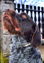 German wirehaired dog looking up