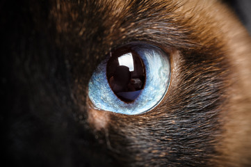one siamese cat eye macro closeup