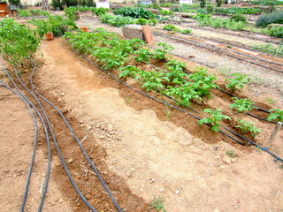 potatoes with drip irrigation