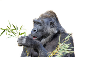 Gorilla Dining on Foliage