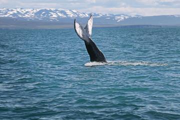 クジラ アイスランド