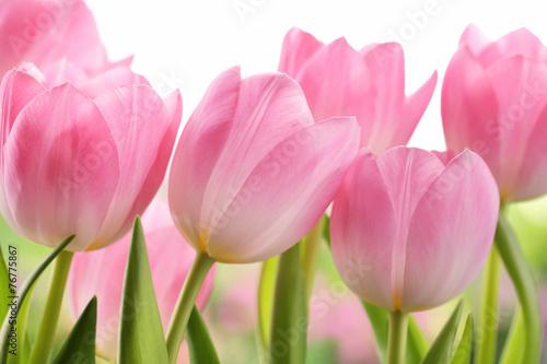 Zdjęcia na płótnie, fototapety na wymiar, obrazy na ścianę : Fresh tulip flowers