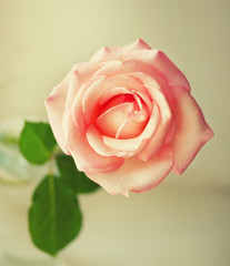 Beautiful Pink roses .Vintage Style.
