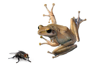 tree Frog and fly on a white