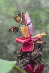 Butterflies on exotic tropical flower, Ecuador.