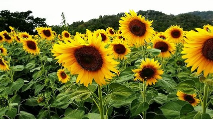 Sunflowers in the windy day with strong color